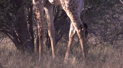 stock footage south african animals -giraffe 2 feeding - stock footage