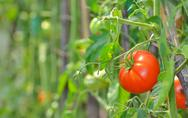 Stock Photo of ripe garden tomatoes