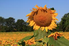 sunflower. - stock photo