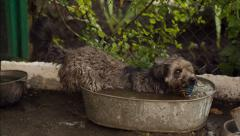 Dog  Bathe at Washtub Stock Footage