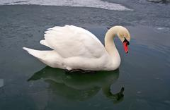White swan over ice of lake, winter concept Stock Photos