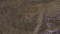 walking leopard - stock footage