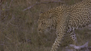 Stock Video Footage of walking leopard