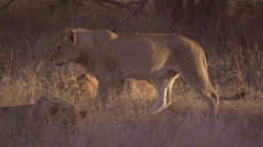 Stock footage African animals -lion and pride Stock Footage