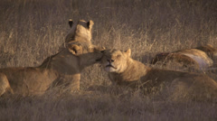 African animals -lions cuddeling Stock Footage