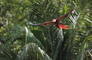 Stock Photo of Latin America, Honduras, Bay Islands, Roatan, Scarlet macaw parrot flying