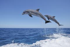 Stock Photo of Latin America, Honduras, Bay Islands, Roatan, Bottlenose dolphin jumping in