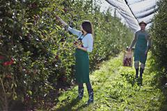 Stock Photo of Croatia, Baranja, Young woman picking apple, man with crate of apples in