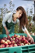 Croatia, Baranja, Young woman picking apples - stock photo