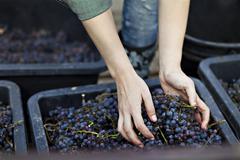 Croatia, Baranja, Young woman harvesting grapes, close up Stock Photos