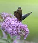 Red-spotted purple admiral butterfly Stock Photos