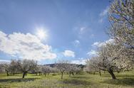 Stock Photo of Spain, Balearic Islands, Majorca, Montuiri, View of blooming almond trees