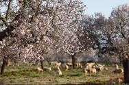 Stock Photo of Spain, Balearic Islands, Majorca, Santanyi, Blossoming Almond trees (Prunus