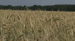 Golden rye field waving in wind - eye level Stock Footage