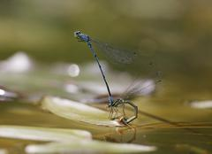 Stock Photo of Germany, Bavaria, Azure damselfly in oviposition, close up