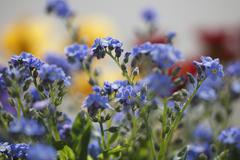 Stock Photo of Germany, Bavaria, View of forget-me-not