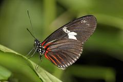 Costa Rica, Longwing butterfly on leaf Stock Photos