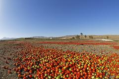 Spain, Canary Islands, Fuerteventura, Landscape with tomatoes near Tuineje - stock photo
