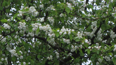 Crabapple Blossoms in a Spring Breeze Stock Footage