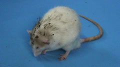 Dirty Rat! WITH Caption Stock Footage