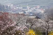Stock Photo of Austria, Lower Austria, Wachau, Spitz, View of town with apricot blossoms in