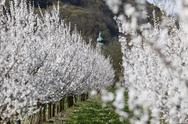 Stock Photo of Austria, Lower Austria, Wachau, Aggsbach Markt, Rows of apricot blossom in field