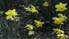 Daffodils in Spring Snow Storm - stock footage