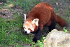 Wildlife and animals - red panda Stock Photos
