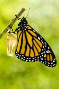 monarch butterfly birth - stock photo