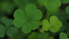 Green clover. Stock Footage