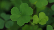 Stock Video Footage of Green clover.