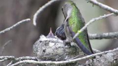 Mother bird feeding babies in nest, yosemite nt park,california Stock Footage