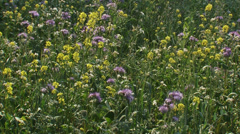 Field edge with wild flowers hold + pan Stock Footage