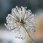Stock Photo of Close-up of hoarfrost inflorescence flower