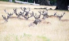 red deer stag herd in summer field landscape - stock photo
