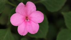 Pink pansy. Stock Footage