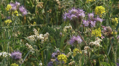 Field edge with phacelia and buckwheat - close up Stock Footage