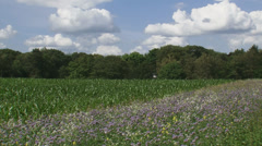 Field edge with wild flowers alongside corn field Stock Footage