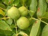 Stock Photo of three unripe walnuts on a branch