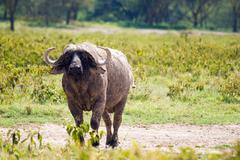 african buffalo grazing at lake nakuru - stock photo