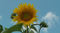 Sunflower sways in the wind 1 Stock Footage
