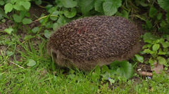 European Hedgehog (Erinaceus europaeus) foraging in garden Stock Footage