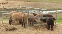 Sheep Farm 2 Stock Footage