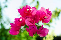 Flowering bougainvillea is many colors Stock Photos