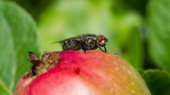fly on apple - stock photo