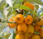 Stock Photo of Seabuckthorn