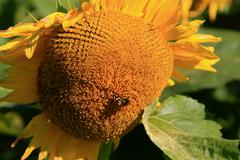 Sunflower with bee on top. Stock Photos