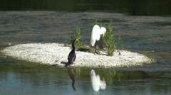 Anhinga and Egret on a small island preening Stock Footage