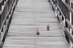 doves in bung bua(lotus pond) khao sam roi yot national park - stock photo