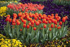 Europe, Germany, North Rhine Westphalia, View of tulip and pansy flower bed Stock Photos